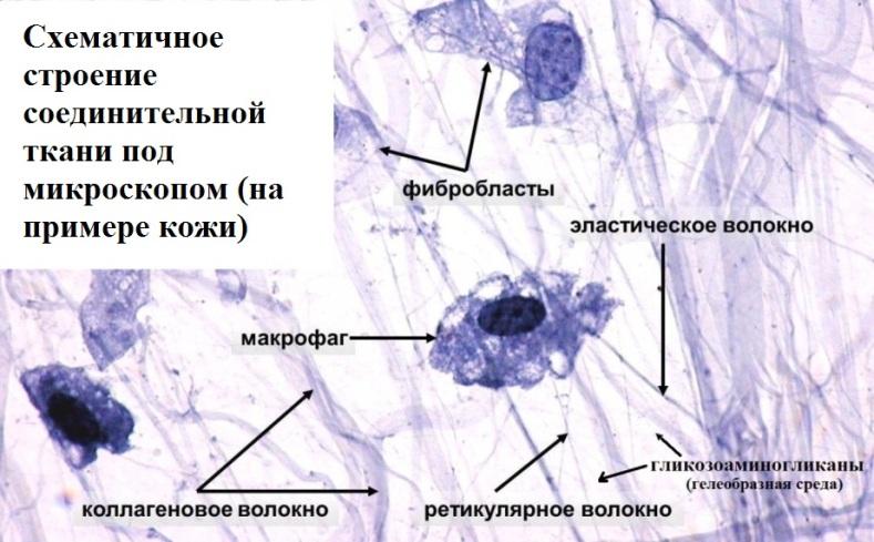 Соединительная ткань под микроскопом