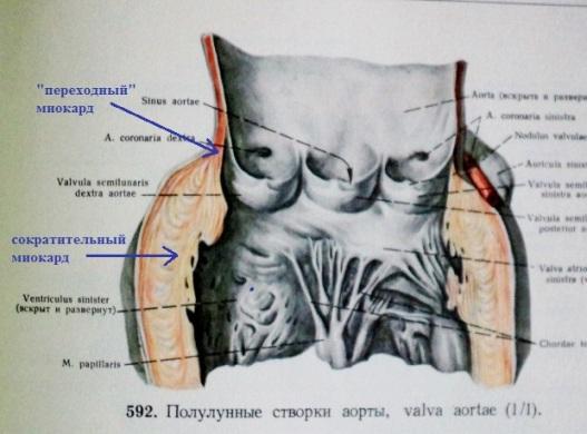 Выносящий тракт левого желудочка
