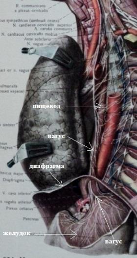 Нерв вагус