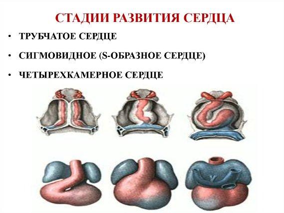 Стадии развития сердца