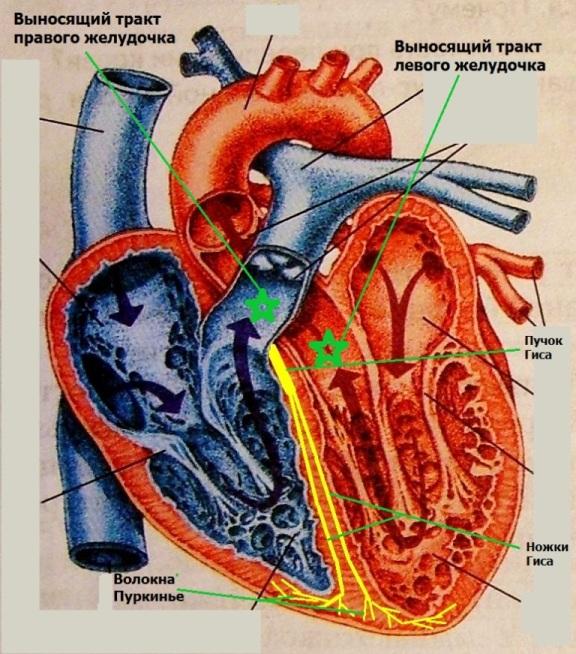 Выносящий тракт правого и левого желудочка