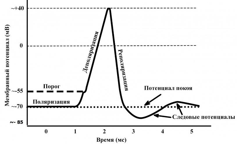 Схема мембранного потенциала кардиомиоцита
