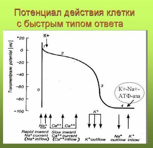 Потенциал действия клетки с быстрым ответом