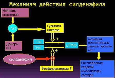 Механизм действия силденафила