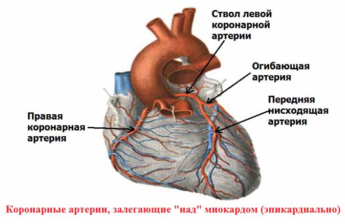 Нормальная анатомия коронарных артерий